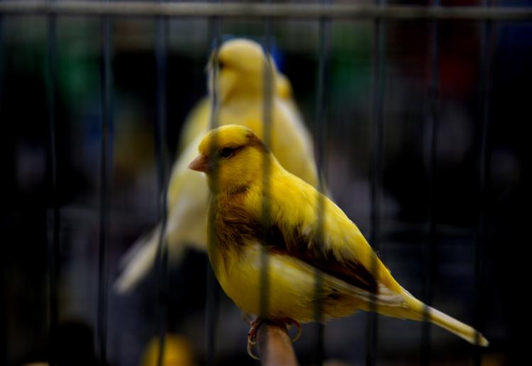 5 bin 706 kuş birincilik için yarıştı