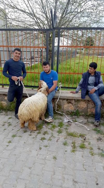 Bulduğu koyunun sahibini arıyor
