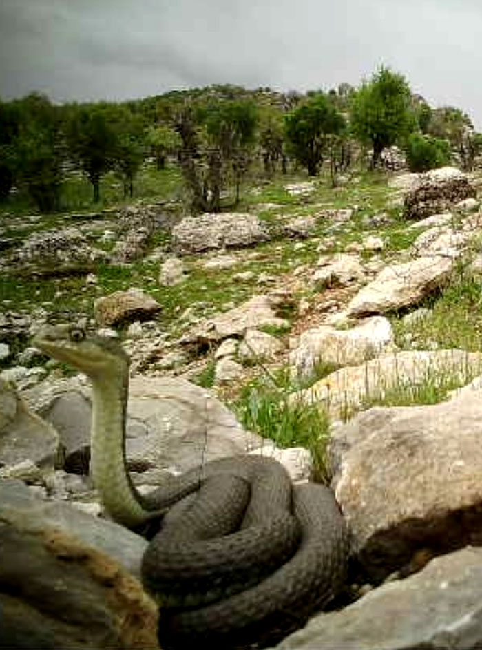 Güneydoğu'da dev yılan görüntülendi