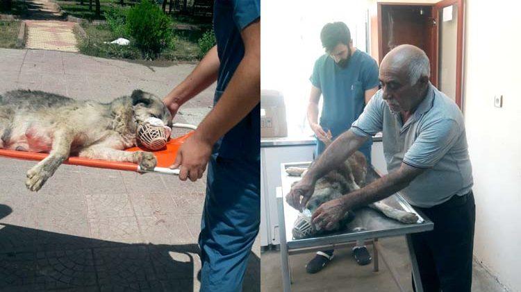 Yaralı köpeğe zabıta sahip çıktı