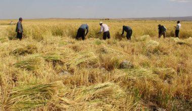 Karacadağ pirincinin hasadı başladı